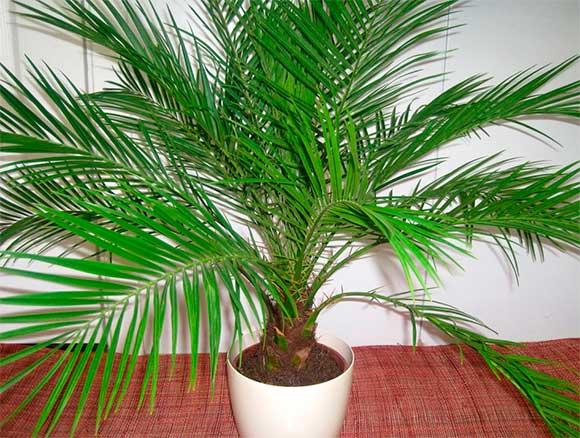 Как вырастить пальму из косточки